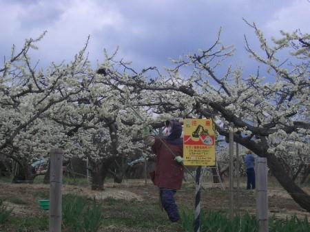 穴山 桃の花見 122