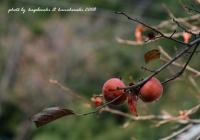 秋の名残柿