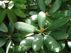 セイヨウシャクナゲ(花芽)