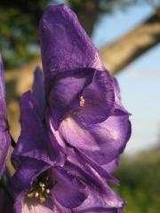トリカブト(花)