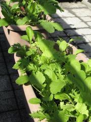 野菜のプランター(ラディッシュ、リーフレタス、ベビーリーフ)
