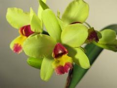 ミニカトレア(黄)の花