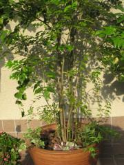シマトネリコとアジュガとアイビーの寄せ植え