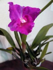 ミニカトレア「Kazumura」の花