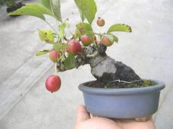 081005姫リンゴ