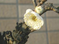 090125梅開花