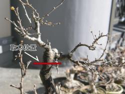 ツルウメモドキ取木