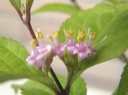 090525コムラサキ花