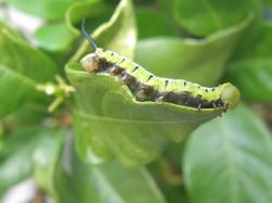 090621オオスカシバの幼虫