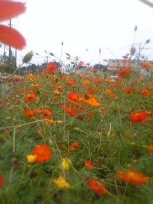 黄花コスモス群生