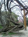 日比谷公園の奇妙な木