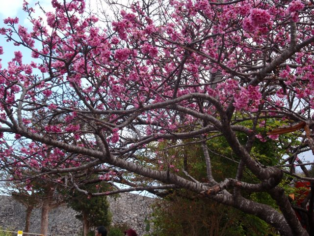 寒ヒガン桜