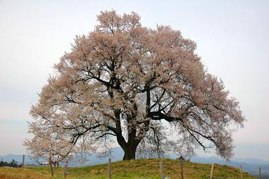 王仁塚の桜