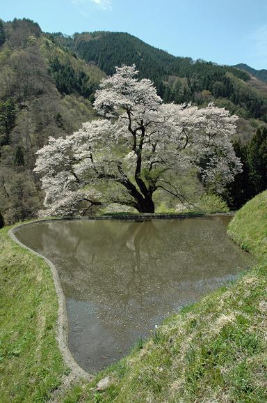 駒つなぎの桜