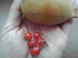 マイクロトマトの大きさは・・・