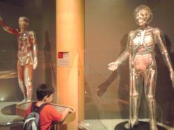 人体模型の展示