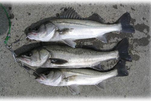D岸壁での釣果♪