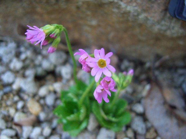 紅花ヒナザクラ