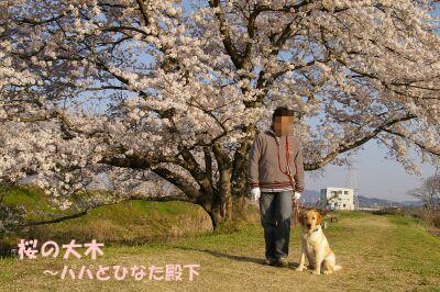 papasakura1.jpg