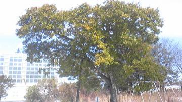 校庭の栗の木