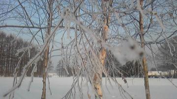 白樺の樹氷