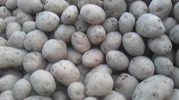 コナフブキ種イモ