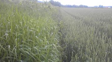 ビフォー小麦