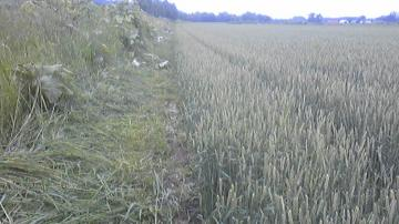 アフター小麦