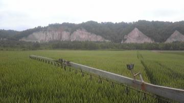 小麦赤かび2とガンケ