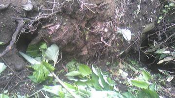 アライグマの穴