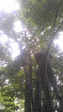 アライグマ木にのぼっちゃった2