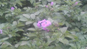レッドムーン開花