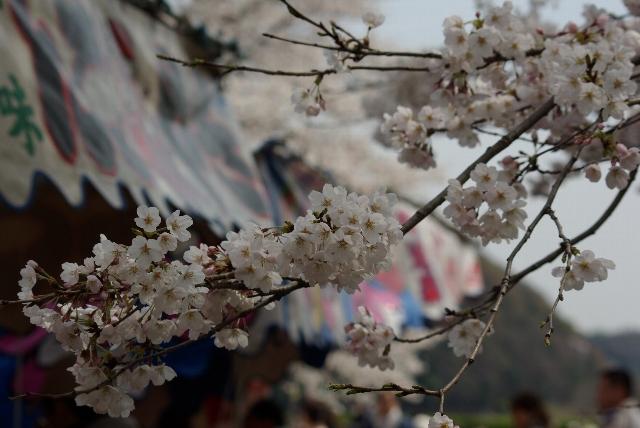 桜祭りにて