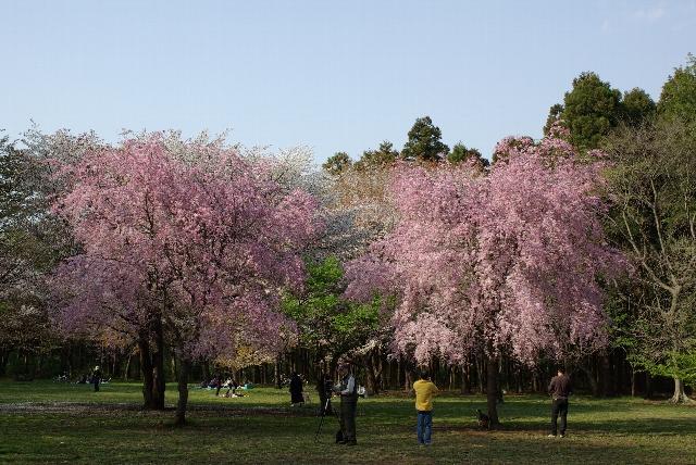 桜を撮る人々