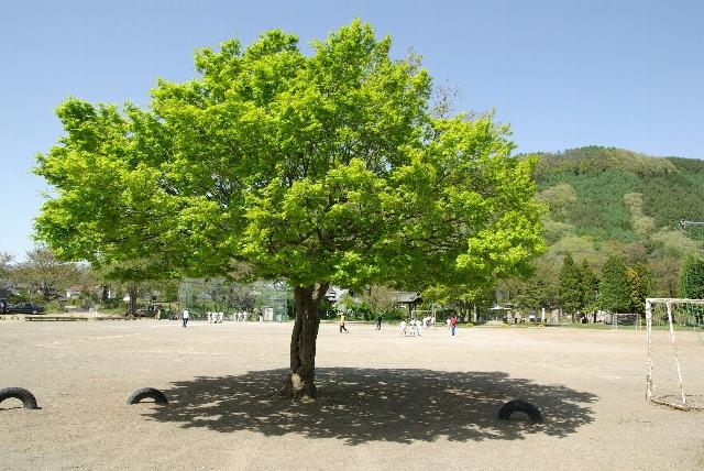龍岡城内・小学校の木