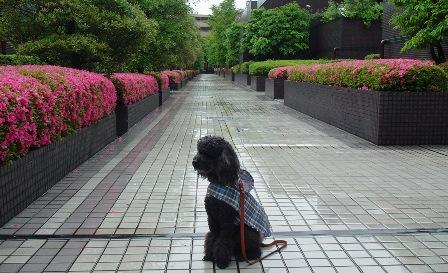 Tsutsuji.jpg
