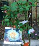 081223waon rose1