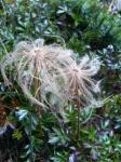 チングルマの綿毛
