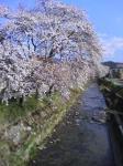070419高山桜