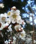 07年梅の花