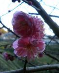 07年梅の花2