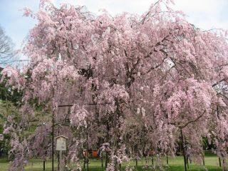 kamigamo sakura