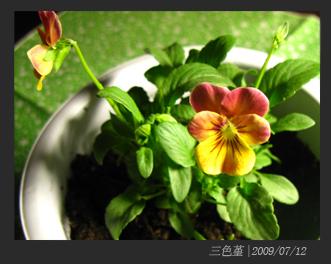 三色#22535;#24320;花