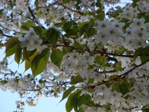 山桜(さくらんぼがなります)