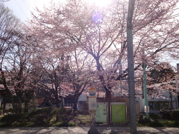 旧軽ロータリーの桜