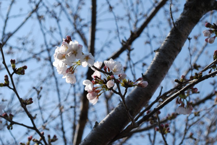 一分。。。咲き