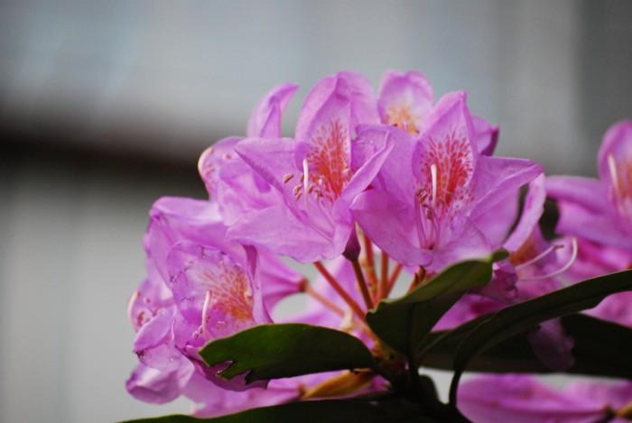 石楠花。。。