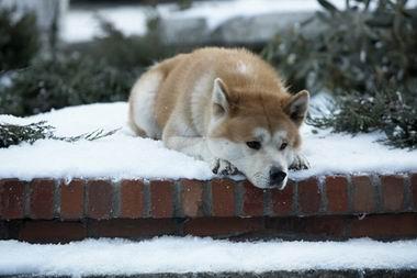 HACHI 約束の犬-2