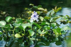 250px-Water_hyacinth.jpg
