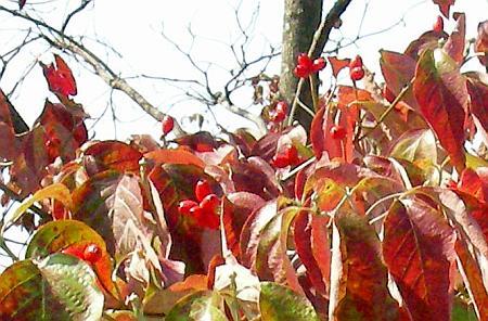 紅葉で目立たないハナミズキの実